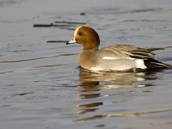 Wigeon, Male in Breeding Plumage, UK-Mike Powles-Photographic Print