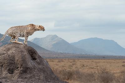 Wild African Cheetah, Beautiful Mammal Animal. Africa, Kenya-Volodymyr Burdiak-Photographic Print