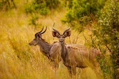 Wild African Deer, at Kruger National Park, Johannesburg, South Africa, Africa-Laura Grier-Photographic Print