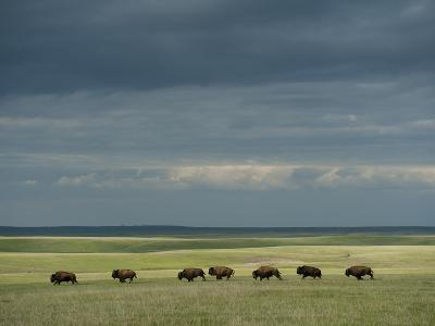 Wild American Bison Roam on a Ranch in South Dakota-Joel Sartore-Photographic Print
