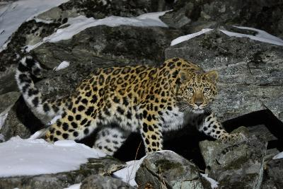 Wild Amur Leopard (Panthera Pardus Orientalis) on Rocky Hillside, Kedrovaya Pad Reserve, Russia-Vladimir Medvedev-Photographic Print