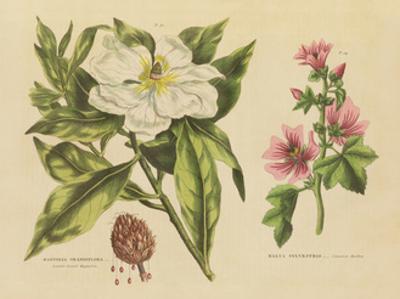 Herbal Botanical II by Wild Apple Portfolio