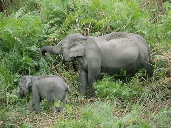 Wild Asian Elephant, Elephas Maximus, Feeding, Kaziranga National Park, Assam, India, Asia-Ann & Steve Toon-Photographic Print