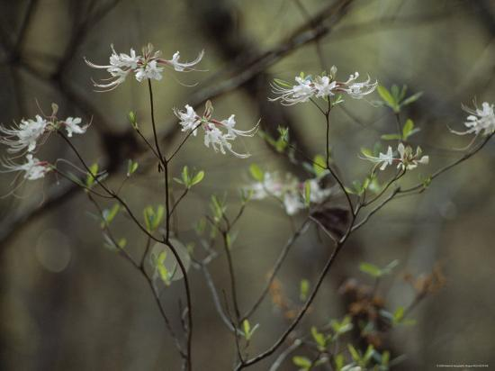Wild Azaleas Bloom in Florida's Oseola National Forest, Florida-James P^ Blair-Photographic Print