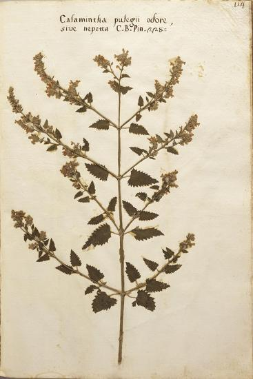Wild Basil (Calamintha Clinopodium)--Giclee Print