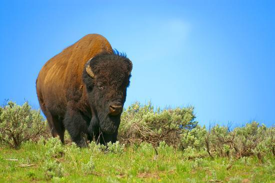 wild-bison-buffalo-yellowstone