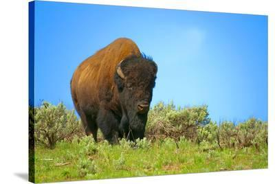 Wild bison buffalo Yellowstone--Stretched Canvas Print