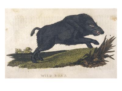 Wild Boar 1814--Giclee Print