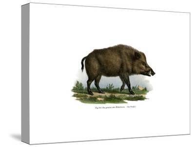 Wild Boar, 1860