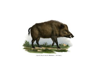 Wild Boar, 1860--Giclee Print