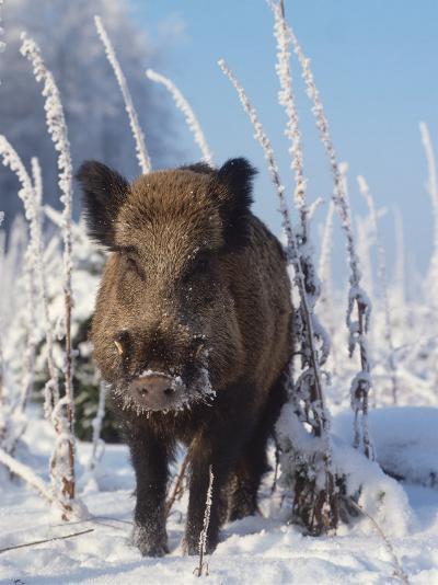 Wild Boar in Winter (Sus Scrofa), Europe-Reinhard-Photographic Print