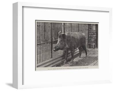 Wild Boar, Removed from Windsor Park and Presented to the Zoological Society by Hm the King