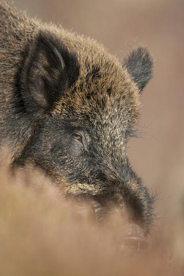 Wild Boar (Sus Scrofa) Alladale Wilderness Reserve, Scotland, March 2009-Cairns-Photographic Print