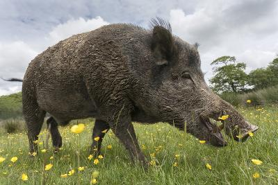Wild Boar (Sus Scrofa), Captive, United Kingdom, Europe-Ann and Steve Toon-Photographic Print