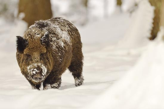 Wild Boar (Sus Scrofa) in the Snow, Bayerischer Wald National Park, Germania, Germany-Gabriele Bano-Photographic Print