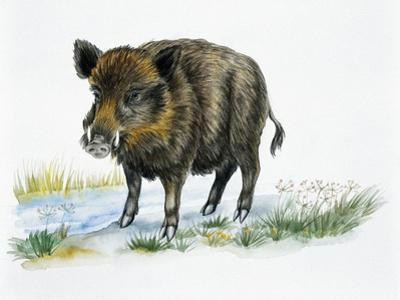Wild Boar (Sus Scrofa), Suidae, Drawing