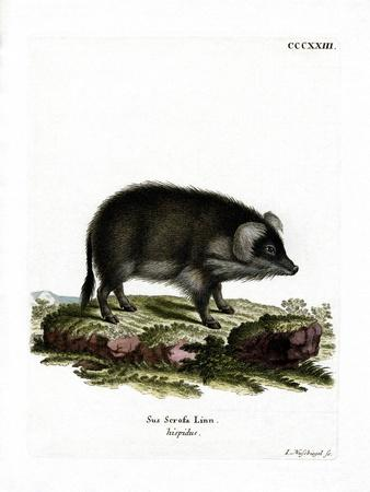Wild Boar--Giclee Print