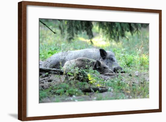 Wild Boar-Reiner Bernhardt-Framed Photographic Print