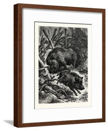 Wild Boars. after Specht. Wild Boar (Sus Scrofa)