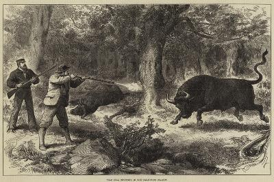 Wild Bull Shooting in the Galapagos Islands--Giclee Print