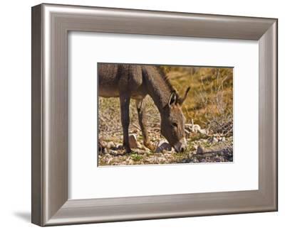 Wild burro, equus asinus, grazing, Red Rock Canyon, Nevada, USA-Michel Hersen-Framed Photographic Print