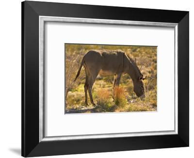 Wild burro grazing. Red Rock Canyon Area, Nevada, USA.-Michel Hersen-Framed Photographic Print