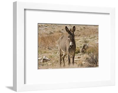 Wild burro standing. Red Rock Canyon Area, Nevada, USA.-Michel Hersen-Framed Photographic Print
