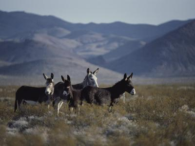 Wild Burros Descended from Those Left by Prospectors-Gordon Wiltsie-Photographic Print