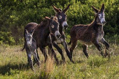 Wild Burros in Custer State Park, South Dakota, Usa-Chuck Haney-Photographic Print