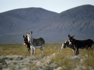 Wild Burros Wander Near Death Valley National Park-Gordon Wiltsie-Photographic Print