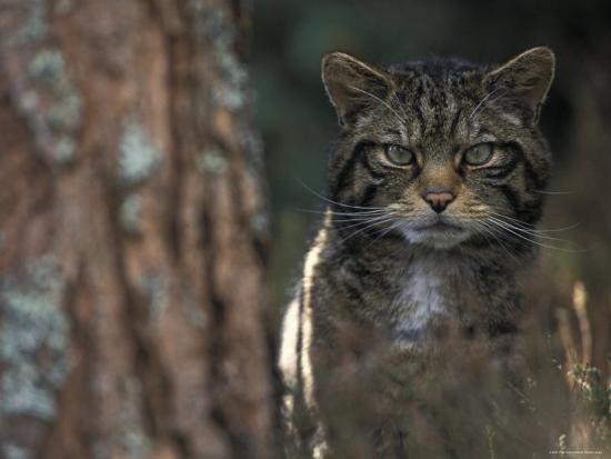 Wild Cat in Pine Forest, Cairngorms National Park, Scotland, UK-Pete Cairns-Photographic Print