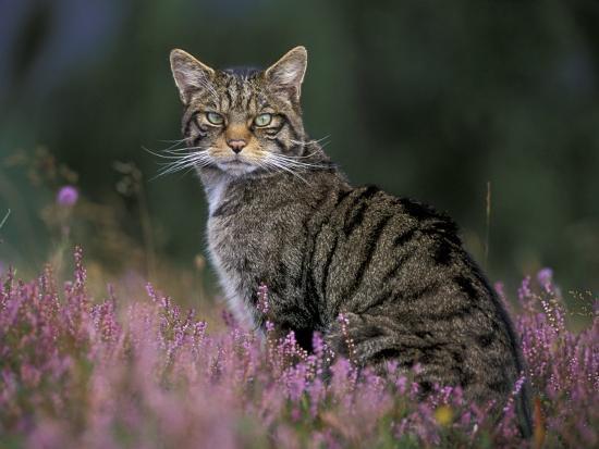 Wild Cat Portrait Amongst Heather, Cairngorms National Park, Scotland, UK-Pete Cairns-Photographic Print