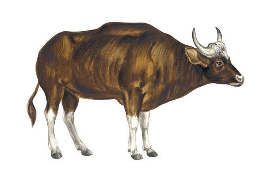 Wild Cattle, Gaur (Bos Gaurus), Mammals-Encyclopaedia Britannica-Art Print