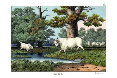 Wild Cattle of Britain, 1860--Giclee Print