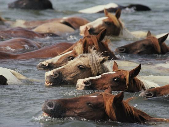 Wild Chincoteague Ponies Swim the Assateague Channel to Auction-Medford Taylor-Photographic Print