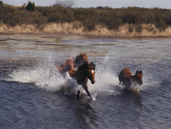 Wild Chincoteague Ponies Swim the Assateague Channel-Medford Taylor-Photographic Print
