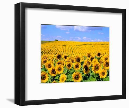 Wild Colors of Sunflowers, Jamestown, North Dakota, USA-Bill Bachmann-Framed Photographic Print