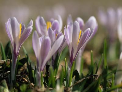 Wild Crocuses Emerging in the Spring-Norbert Rosing-Photographic Print