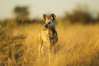 Wild Dog at Dawn, Moremi Game Reserve, Botswana-Paul Souders-Photographic Print