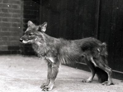 Wild Dog at Zsl London Zoo-Frederick William Bond-Photographic Print