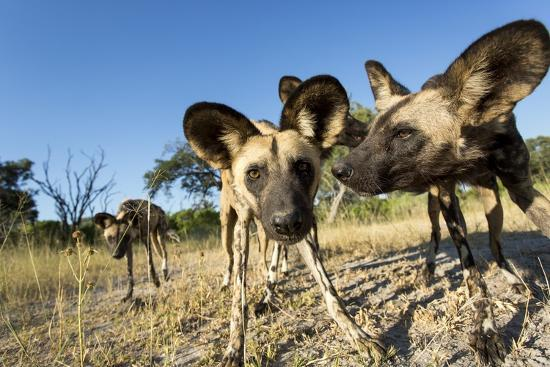 Wild Dogs, Moremi Game Reserve, Botswana-Paul Souders-Photographic Print
