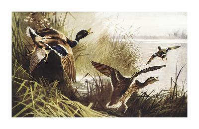 Wild Duck-Archibald Thorburn-Premium Giclee Print