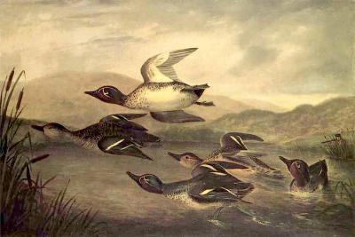 Wild Ducks Rising, 1840-John Woodhouse Audubon-Giclee Print