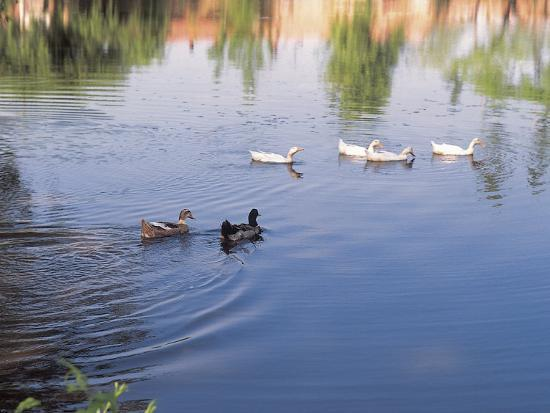 Wild Ducks Swimming in a Pond--Photographic Print