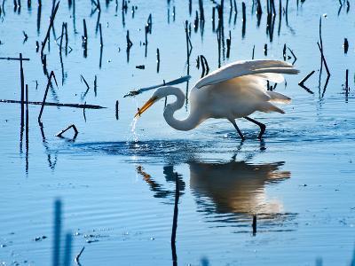 Wild Egret Fishing Horicon Marsh Wisconsin-Steve Gadomski-Photographic Print