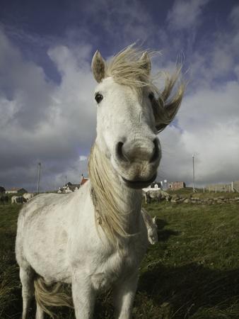 https://imgc.artprintimages.com/img/print/wild-eriskay-ponies-grazing-in-village_u-l-pzlhmu0.jpg?p=0