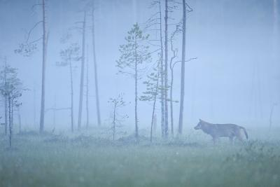 Wild European Grey Wolf (Canis Lupus) Silhoutted in Mist, Kuhmo, Finland, July 2008-Widstrand-Photographic Print