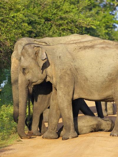 Wild Female Asian Elephants with Baby Elephant, Yala National Park, Sri Lanka, Asia-Peter Barritt-Photographic Print