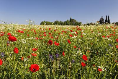 Wild Flowers and Red Poppy in Field-Cornelia Doerr-Photographic Print