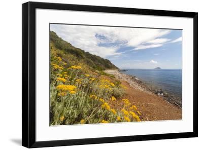 Wild flowers at Sansone Beach, Portoferraio, Elba Island, Livorno Province, Tuscany, Italy, Europe-Roberto Moiola-Framed Photographic Print